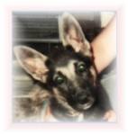 Sheba puppy.z